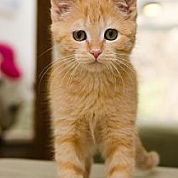 Photo 2 - Domestic Shorthair Cat for adoption in St. Louis, Missouri - Albie