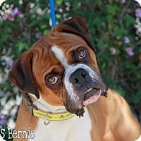 Adopt A Pet :: Bernie - Fremont, CA