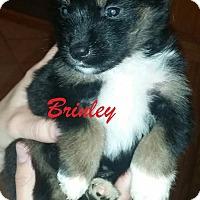 Adopt A Pet :: Brinley - Clear Lake, IA