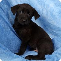 Adopt A Pet :: Sammy Gsmix - St. Louis, MO