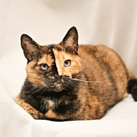 Domestic Shorthair Cat for adoption in Cary, North Carolina - Ariel