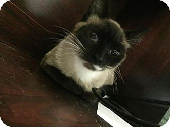 Siamese Cat for adoption in Pensacola, Florida - Lady M
