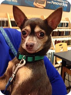 Chihuahua Dog for adoption in Baton Rouge, Louisiana - Hershey