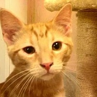 Domestic Shorthair Cat for adoption in Tyler, Texas - AA-Quinten