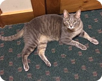 Domestic Shorthair Cat for adoption in Wayland, Michigan - Nash