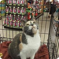 Domestic Shorthair Cat for adoption in Philadelphia, Pennsylvania - Mommy (PetCo Bensalem)