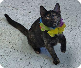 Domestic Shorthair Cat for adoption in Chambersburg, Pennsylvania - Kate