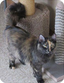 Domestic Longhair Cat for adoption in Glenwood, Minnesota - Layla