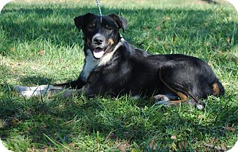 Border Collie Mix Dog for adoption in Parsons, Kansas - Buster
