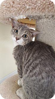 Domestic Shorthair Kitten for adoption in Danville, Indiana - Bobbi