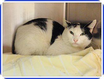 Domestic Shorthair Cat for adoption in Marietta, Georgia - GABRIEL