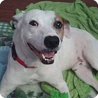 Pointer Mix Dog for adoption in Seabrook, New Hampshire - Bert