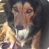 Adopt A Pet :: Little Man meet me 11/11 - Manchester, CT