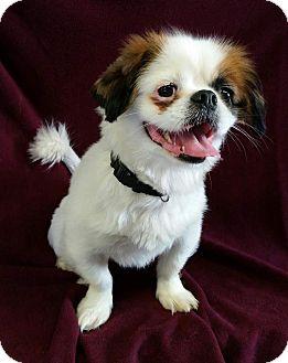 Pekingese Dog for adoption in Urbana, Ohio - Victor Montgomery