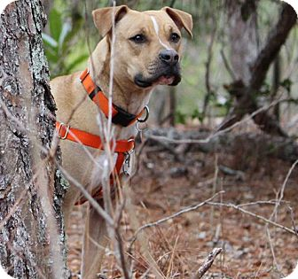 American Pit Bull Terrier/Hound (Unknown Type) Mix Dog for adoption in Pinehurst, North Carolina - Sweetie
