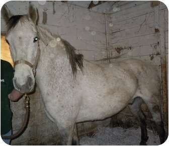 Quarterhorse Mix for adoption in Dewey, Illinois - Eddie