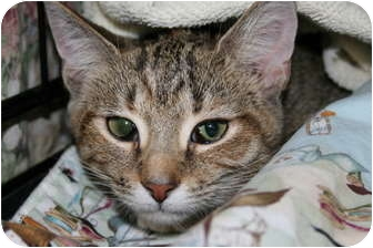 Domestic Shorthair Kitten for adoption in Frederick, Maryland - Tawney