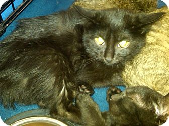 Domestic Mediumhair Kitten for adoption in Sterling Hgts, Michigan - Leia