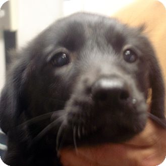 Labrador Retriever Mix Puppy for adoption in baltimore, Maryland - Indigo