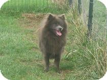 Pomeranian Dog for adoption in Prole, Iowa - Banjo