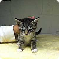 Adopt A Pet :: Mittens - Island Park, NY