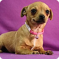 Adopt A Pet :: Cabernet - Broomfield, CO