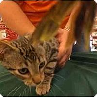 Adopt A Pet :: Cornie - Lombard, IL