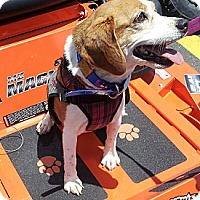 Beagle Dog for adoption in Norfolk, Virginia - Cora