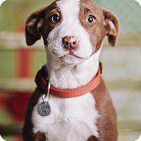 Adopt A Pet :: Kiwi - Portland, OR