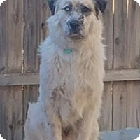 Great Pyrenees/Anatolian Shepherd Mix Dog for adoption in Kyle, Texas - Buckle