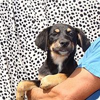 Adopt A Pet :: Ziggy - Oviedo, FL
