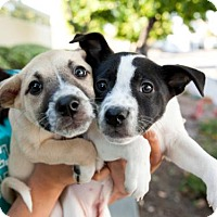 Adopt A Pet :: Peter Pan Puppies - Females - San Diego, CA