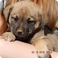 Adopt A Pet :: Foxfire (8 lb) - SUSSEX, NJ