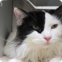 Domestic Shorthair Cat for adoption in Bellevue, Washington - Hendrix