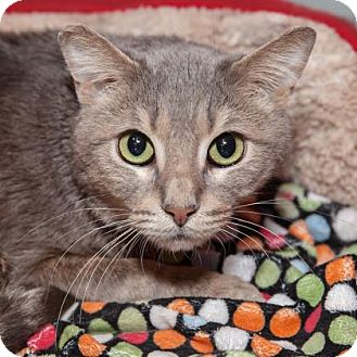 Domestic Shorthair Cat for adoption in Mission Hills, California - Stanley
