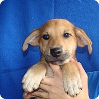 Adopt A Pet :: Copper - Oviedo, FL