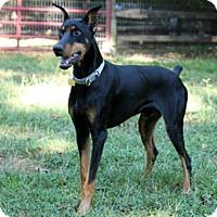 Adopt A Pet :: HUDSON - Greensboro, NC