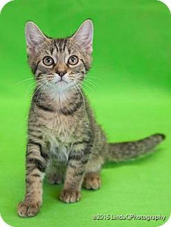 Domestic Shorthair Cat for adoption in Las Vegas, Nevada - Niska