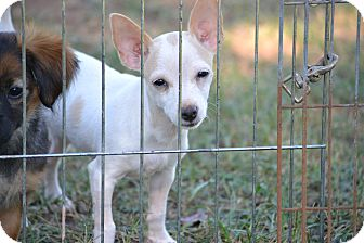 Chihuahua Mix Puppy for adoption in Pikeville, Maryland - Kensey