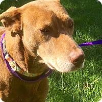 Labrador Retriever Mix Dog for adoption in Albion, New York - Donna