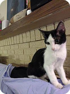 Domestic Mediumhair Kitten for adoption in Cedar Rapids, Iowa - Beatrice