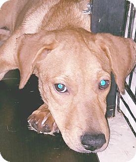 Labrador Retriever Mix Puppy for adoption in Phoenix, Arizona - Krista