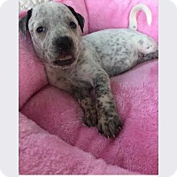 Adopt A Pet :: Ava (addy litter) - Wenonah, NJ