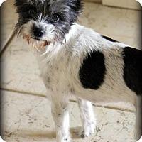Adopt A Pet :: Lady - Ft. Lauderdale, FL