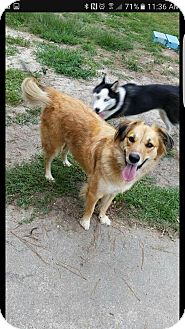 Australian Shepherd/Labrador Retriever Mix Dog for adoption in Goldsboro, North Carolina - Daisy