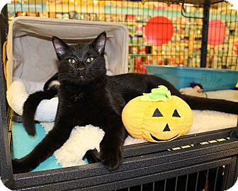 Domestic Shorthair Kitten for adoption in McCormick, South Carolina - Ace