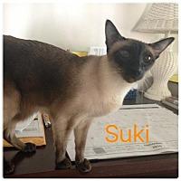 Siamese Cat for adoption in Satellite Beach, Florida - Suki