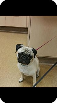 Pug/Pug Mix Dog for adoption in LAKEWOOD, California - Haely