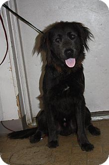 Labrador Retriever/Spaniel (Unknown Type) Mix Dog for adoption in Angola, Indiana - Buster