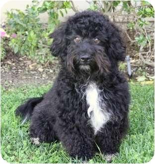 Adopt Portuguese Water Dog Puppy